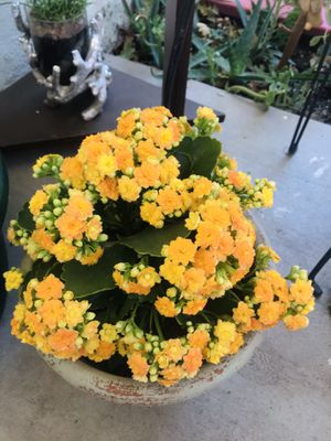Yellow Kalanchoe for Sale in Visalia, CA