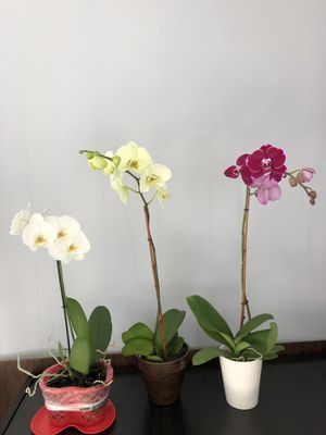 Phalaenopsis Orchid Single Stem for Sale in Tampa, FL