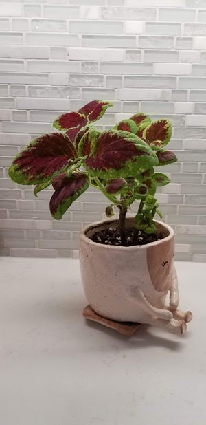 Coleus (Purple Velvety Leaves Plant) for Sale in Falls Church, VA