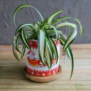 "Spider Plant In 3"" Ceramic Christmas Pot for Sale in Orlando, FL"