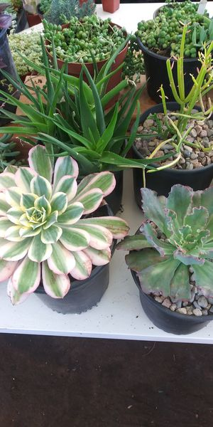 Succulents $7 for Sale in San Marcos, CA