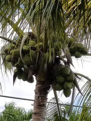 Coconuts (green) for Sale in Palmetto Bay, FL