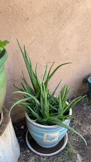 Aloe Vera ( Sabina) plants for Sale in Lancaster, CA