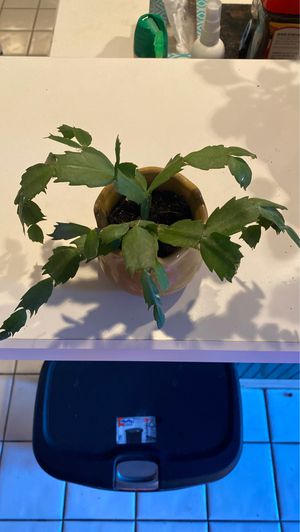 Christmas Cactus for Sale in Euless, TX