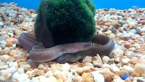 Fish tank moray eels for Sale in Compton, CA