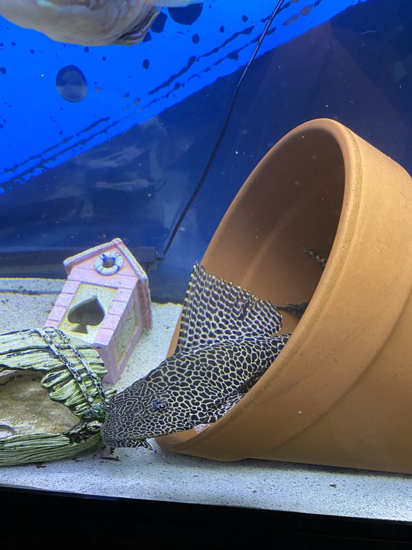 CICHLIDS!!!!! Green terror 80$. King kamfa flower horn 100$. Huge Pleco 80$. DMV area Serious inquiries o my please. Thank you