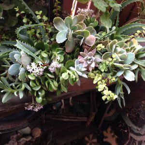 Gorgeous Large Succulent Arrangement for Sale in Calabasas, CA