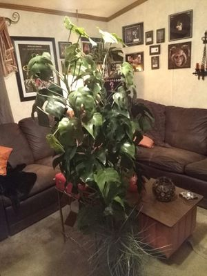 Vintage 5½foot Artificial Philodendron Plant for Sale in Hopkinsville, KY