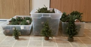 Undecorated mini Christmas trees for Sale in Tacoma, WA