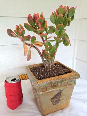 Jade Succulent Plants in Square Ceramic Planter Pot- Real Indoor House Plant for Sale in Auburn, WA