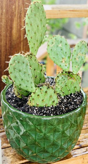 Live outdoor Prickly Pear cactus house plant in a textured ceramic planter flower pot—firm price for Sale in Seattle, WA