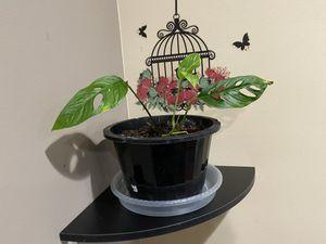 Monstera adonsanii wide form plant for Sale in Leesburg, VA