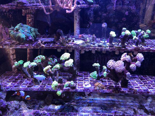 Branching Hammer Corals