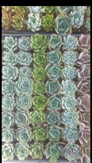 """Friday and Saturday succulent plants for sale 2"""" for Sale in Corona, CA"""