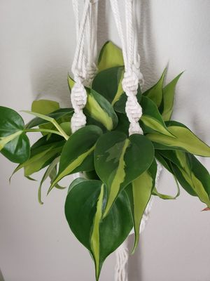 Heart-Leaf Philodendron 'Brasil' in hanging macrame. for Sale in Burlington, WA