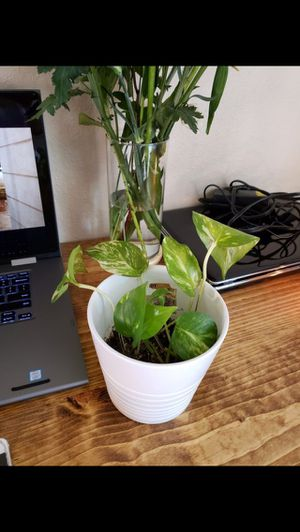 Potted pothos plant for Sale in Anaheim, CA