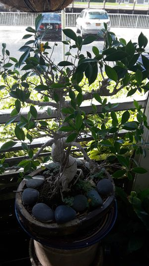 Bonsai japonese for Sale in Hollywood, FL