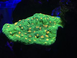WWC Space Invader Chalice live Coral Colony for Sale in Pembroke Pines, FL