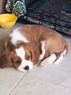 King Charles Cavalier for Sale in Queens, NY