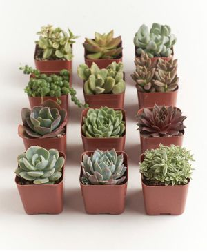 Succulents for Sale in Canton, MA