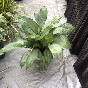 rare peace lily for Sale in South Gate, CA