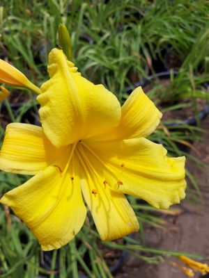 Day lilies for Sale in Azusa, CA