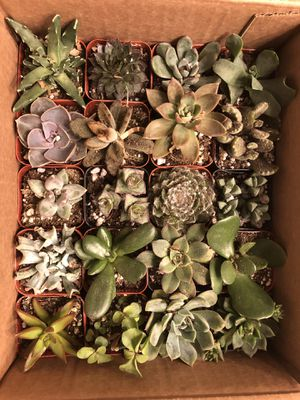 Succulent variety box (20 total) for Sale in Pflugerville, TX