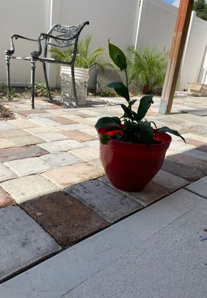 Real plant for Sale in Tampa, FL