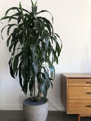 6ft house plant for Sale in Los Angeles, CA