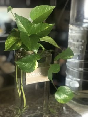 Pothos for Sale in Jacksonville, NC