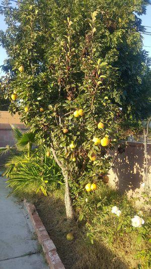 FREE PEAR TREE. GRATIS ARBOL DE PERA for Sale in Los Angeles, CA