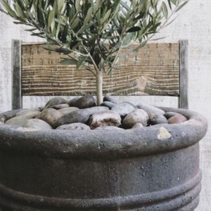 Potted Olive shrubs, Any Style Your Choice for Sale in Long Beach, CA