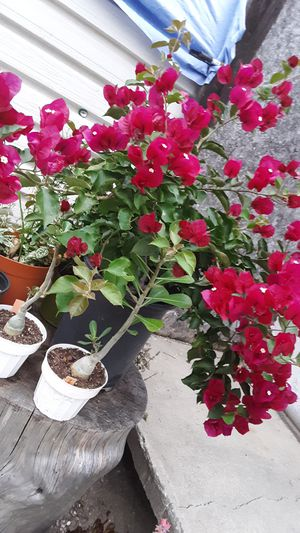 5 gallon pot with bougainvillea plants for Sale in Whittier, CA