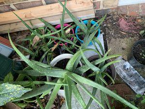Aloe Vera plant for Sale in Silver Spring, MD