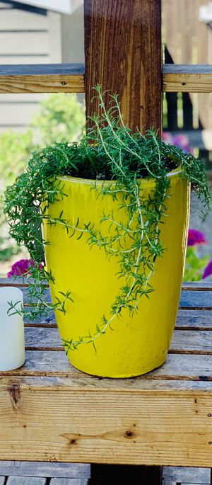 """Live outdoor or indoor Prostratus """"Creeping"""" Rosemary herb plant in a ceramic planter flower pot—firm price for Sale in Seattle, WA"""