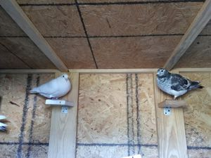 Racing pigeon for Sale in Orlando, FL