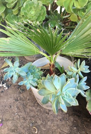 Palm tree with succulents for Sale in Santa Ana, CA