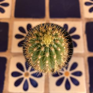 Golden Torch Cactus Echinopsis Spachiana Rooted for Sale in Chandler, AZ