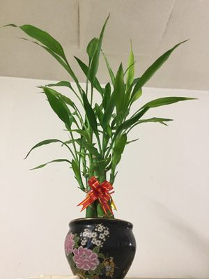 Lucky bamboo plant for Sale in Yuma, AZ