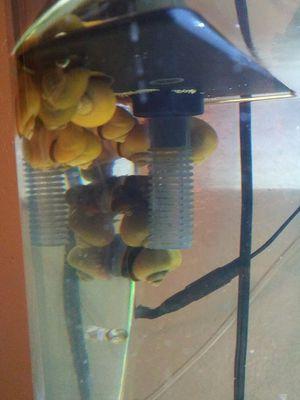 FISH TANK MYSTERY SNAILS for Sale in Phoenix, AZ