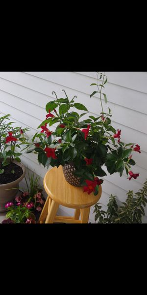 House plant in large pot for Sale in St. Louis, MO