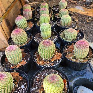 Rainbow Cactus Succulent Plant for Sale in Riverside, CA