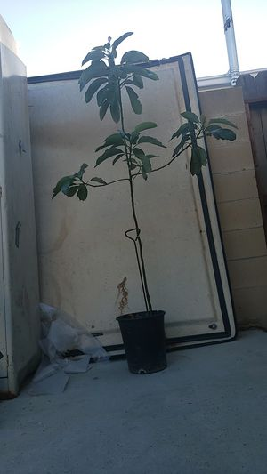 Hass Avocado Tree for Sale in Long Beach, CA