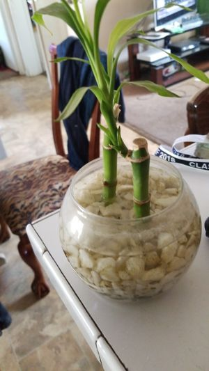 Bamboo plant in glass bowel for Sale in Perris, CA