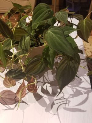 Houseplant velvet bronze leaf Micans philodendron plant by root for Sale in OR, US