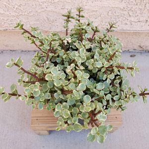 Elephant bush, Elephants food succulent houseplant. for Sale in Las Vegas, NV