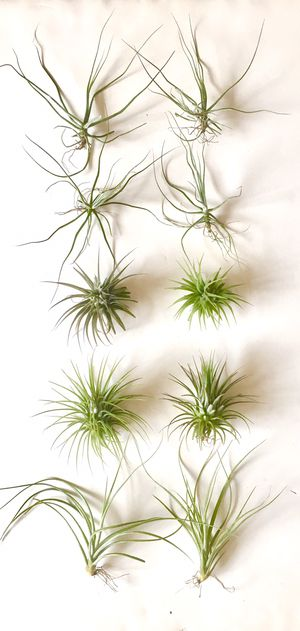 "Ten Assorted Live Air Plants Size 3"" to 5"" for Sale in Everett, WA"