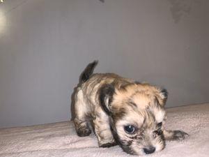 Chihuahua/ teddy bear for Sale in Carpentersville, IL