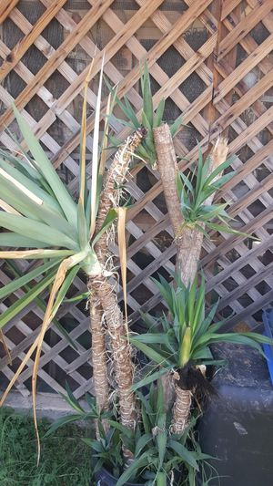 """56"""" Rooted Yucca, 3 pictured for Sale in Phoenix, AZ"""