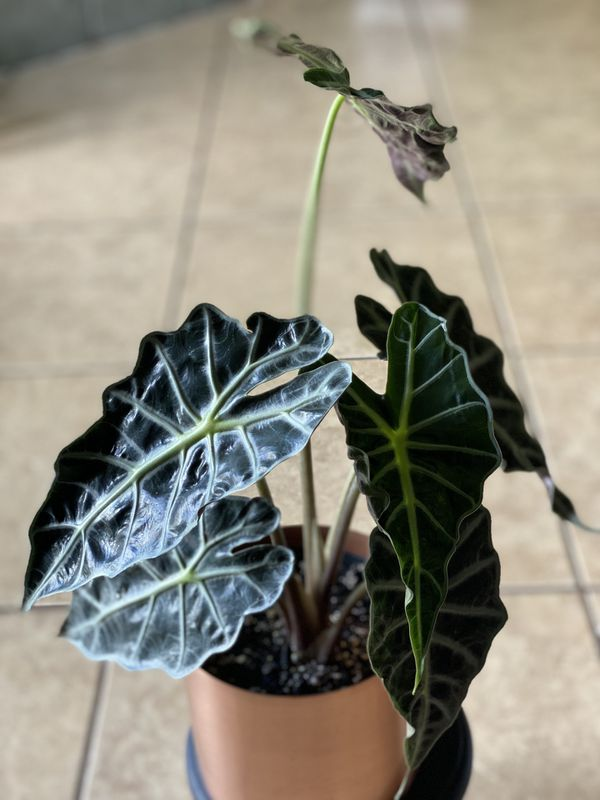 Alocasia Polly African Mask Plant Live